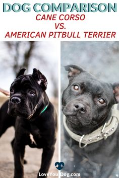 Not sure what the difference is between the Cane Corso and the Pitbull? We look at the history of both breeds and compare the two as pets. R Dogs, Dogs And Puppies, Dog Breed Names, Dog Breeds, Best Dog Training, Training Tips, Dog Comparison, Cane Corso Italian Mastiff, Dog Organization