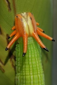 Opsiphanes cassiae, Cassia's Owlet, Crowned Caterpillar - Found from Mexico to Panama, in Colombia, in Ecuador, in Bolivia, in Peru, in Brazil, in Surinam, in Guyana and Guyana.