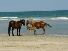Wild Horses on Corolla Beach, OBX, NC. I have actually been here and seen them like this. Amazing!!