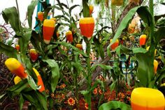 Candy Corn Acres at Disney's California Adventure. Corn Plant, Disney California Adventure, Candy Corn, Junk Food, Anna Fox, Acre, Disneyland, Stuffed Peppers, Plants