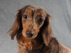 Adopt Swirl, a lovely 6 years 8 months Dog available for adoption at Petango.com. Swirl is a Dachshund, Miniature Smooth Haired and is available at the National Mill Dog Rescue in Colorado Springs, Co. www.milldogrescue.org