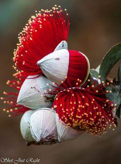 Amazingly beautiful flowers Rose Mallee(Eucalyptus Rhodanthas) – Gardening for beginners and gardening ideas tips kids Strange Flowers, Unusual Flowers, Unusual Plants, Rare Flowers, Exotic Plants, Amazing Flowers, Pretty Flowers, Purple Flowers, Beautiful Flowers Photos
