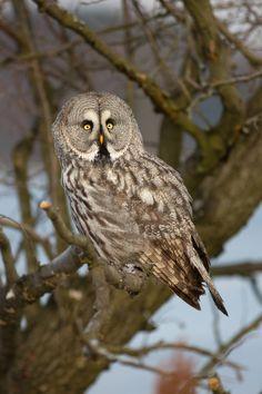 Great Grey Owl - by Milan Zygmunt on 500px