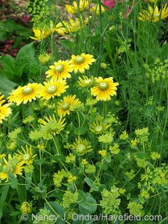 Rudbeckia hirta 'Prairie Sun' with dill (Anethum graveolens) and thorough-wax (Bupleurum rotundifolium) at Hayefield