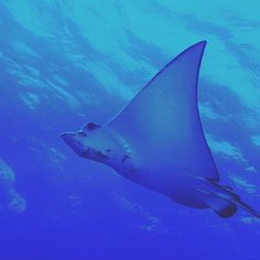 A spotted eagle ray spent some time with our marine conservation volunteers while they were out doing their fish surveys in the Seychelles. Spotted Eagle Ray, Personal And Professional Development, Marine Conservation, Volunteer Abroad, Volunteers, Seychelles, Kenya, Diving, United Kingdom