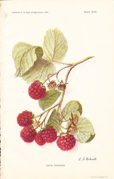 1908 Fruit Print - Eaton Raspberry - Vintage Home Kitchen Food Decor Plant Art Illustration Great for Framing 100 Years Old via Etsy Vintage Botanical Prints, Botanical Drawings, Botanical Art, Vintage Flower Prints, Images Vintage, Vintage Art, Art And Illustration, Illustration Botanique Vintage, Vintage Botanical Illustration
