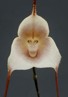 Dracula amaliae Strange Flowers, Unusual Flowers, Wonderful Flowers, Rare Flowers, Types Of Flowers, Beautiful Flowers, Weird Plants, Unusual Plants, Exotic Plants