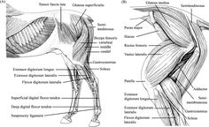 Anatomy Trains fascia in the horse | Horse Massage Langley, BC