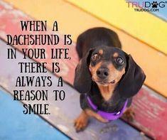 Sooooooooooo true ❤❤ -When a dachshund is in your life there is always a reason to smile Dachshund Breed, Dachshund Quotes, Dachshund Funny, Long Haired Dachshund, Daschund, Dachshund Love, Puppy Goldendoodle, I Love Dogs, Puppy Love