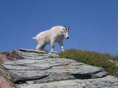 Mountain Goat near the summit of Scotchman Peak (Idaho Panhandle National Forest).
