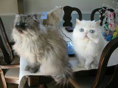 3 Cats on the Table!