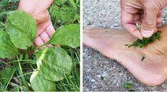 Toți românii o calcă în picioare, însă este un remediu naturist exceptional. Planta care ... - Viata si Sanatate