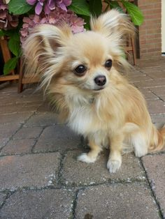 Chihuahua Love, Chihuahua Puppies, Chihuahuas, Cute Puppies, Puppies And Kitties, Cute Cats And Dogs, Cute Animal Pictures, Puppy Pictures, Baby Dogs