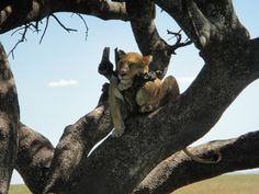 Serengeti National Park, Tanzania, National Parks, Lion Sculpture, Statue, Art, Art Background, Kunst, Performing Arts