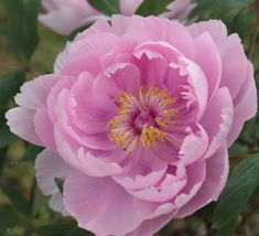 Akashigata - Japanese Tree Peony. Flowering period still short but beautiful.