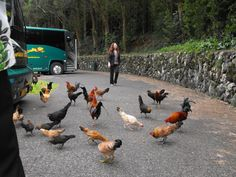 """Wild Chickens in Hawaii! Who Knew?"" Submitted by Tammy Ferriola Owens on Facebook. #pinHawaii"
