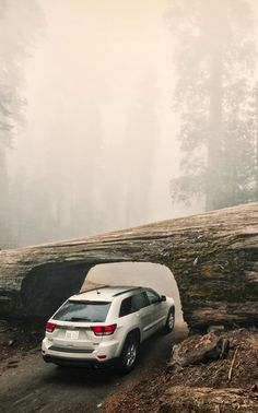 Tree tunnel / Sequoia National Park