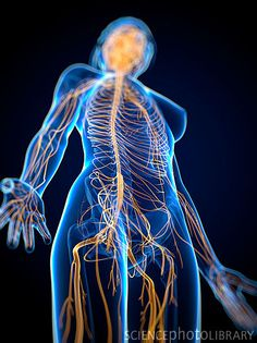 Nervous system, artwork in 2020 Systems Art, Body Systems, Science Photos, Science Art, Anatomy Art, Human Anatomy, Brain Neurons, Craniosacral Therapy, Brain Art