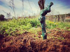 Reimpianto 2016. #valcalepio #reimpianto #barbatella #cabernetsauvignon #vigneto #wineyard #vite #vine #terra #ground #natura #nature