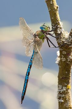 Dragonfly 20100721-Königslibelle-3595 by Bluesfreak**