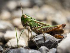 Small Grasshopper on his stony way