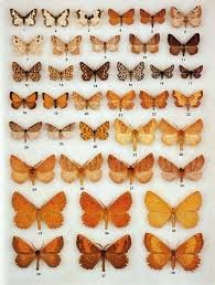 Image result for moth varieties