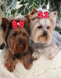 Showing off their double happy haircuts they got today! #yorkshireterrier