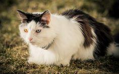 A Cat with Blue and Orange Eyes! by Aziz Nasuti on Orange, Eyes, Blue, Animals, Animales, Animaux, Animal, Animais, Cat Eyes