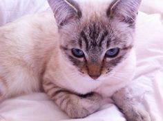 Tabby Siamese kitten, she is 9 months old now, this is an old picture.