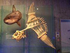 Skeleton of ocean sunfish