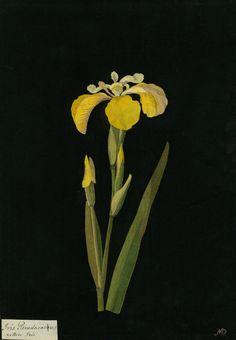 Mary Delany, Iris Pseudacorus, Yellow Iris collage, 1777 .