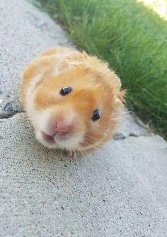 Awww!!!. Hamster Pics, Hamster Care, Syrian Hamster, Cute Kawaii Animals, Cute Baby Animals, Funny Animal Memes, Funny Animals, Felt Animals, Baby Animals