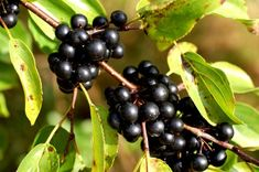 Volbura, cel mai eficient laxativ natural   Paradis Verde Fruit, Food, Crochet, Medicine, Green, Plant, Essen, Ganchillo, Meals