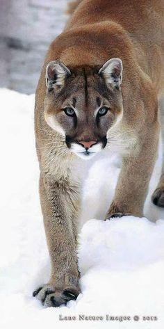 Cougar or Puma? Google+