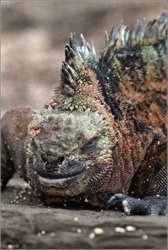 The marine iguana (Amblyrhynchus cristatus) is an iguana found only on the Galápagos Islands that has the ability, unique among modern lizards, to live and forage in the sea, making it a marine reptile. Photo by Igor Guchshin Reptiles Et Amphibiens, Cute Reptiles, Mammals, Beautiful Creatures, Animals Beautiful, Animals And Pets, Cute Animals, Marine Iguana, Mundo Animal