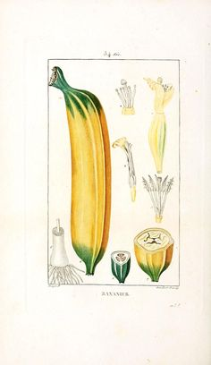 Banana tree, from Flore Médicale (1833)