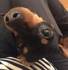 Who tipped me upside down? Mini Pinscher, Miniature Pinscher, Doberman Pinscher, Min Pin Puppies, Dog Pictures, Cute Pictures, Animals And Pets, Cute Animals, Min Pins