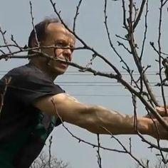 Jarný rez ovocných drevín