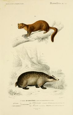 gravures mammiferes - gravure mammifere 0077 blaireau commun - ursus meles - Gravures, illustrations, dessins, images