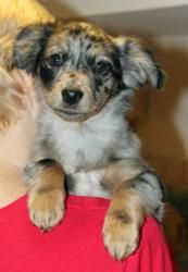 Bess is an adoptable Australian Shepherd Dog in Larchmont, NY. Bess is a real cute - she is an Aussie mix, weighing between 5-7 lbs and around 10 weeks old. Her siblings are the 'B' puppies and she lo...