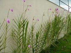 A orquídea-bambu é considerada uma orquídea terrestre de características rústicas, também conhecida como arundina. É uma planta que se encaixa com muita perfeição nos jardins de estilo tropicais e contemporâneos. Seu caule é formado por grande massas que crescem até alcançar a altura de 2.40 de altura. As suas folhas são estreitas, finas, lanceoladas e compridas. A formação de suas flores acontece na estação do verão e apresentam coloração lilás rosada com labelo púrpura, podendo ser…