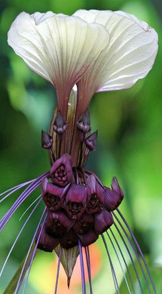 This flower is called White Bat Flower (Tacca Integrifolia), Cat's Whiskers or Devil's Tongue.