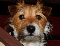 Beautiful Long-haired Jack Russell Terrier Dog
