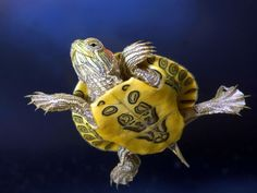 Turtle with yellow belly