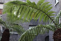 A Secret Courtyard Garden in Piccadilly, Ancient Tree Ferns Included - Gardenista