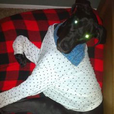 Thor, the Great Dane, ready for bed!