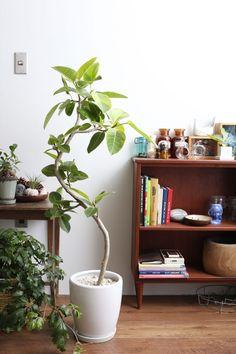 フィカス・アルテシマ / Ficusaltissima'Variegata'