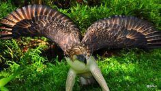 Philippine Eagle  http://en.wikipedia.org/wiki/Philippine_Eagle  http://www.arkive.org/philippine-eagle/pithecophaga-jefferyi/  http://ngm.nationalgeographic.com/2008/02/philippine-eagles/mel-white-text