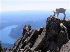Mountain Goats atop Mt. Ellinor in Washington close to Lake Cushman. Hiked to summit with Kylie in August 2013.