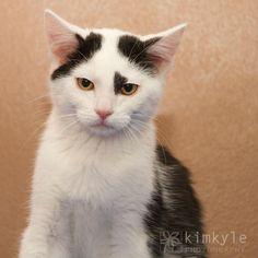 Hi, my name is Oliver. I am the nicest kitten ever and I am cute to boot. I am only 2 months old and am very active and playful. I would love to find a home with another kitten or feline friend. If you're looking for the perfect little kitten companion, they please stop by and meet me today.